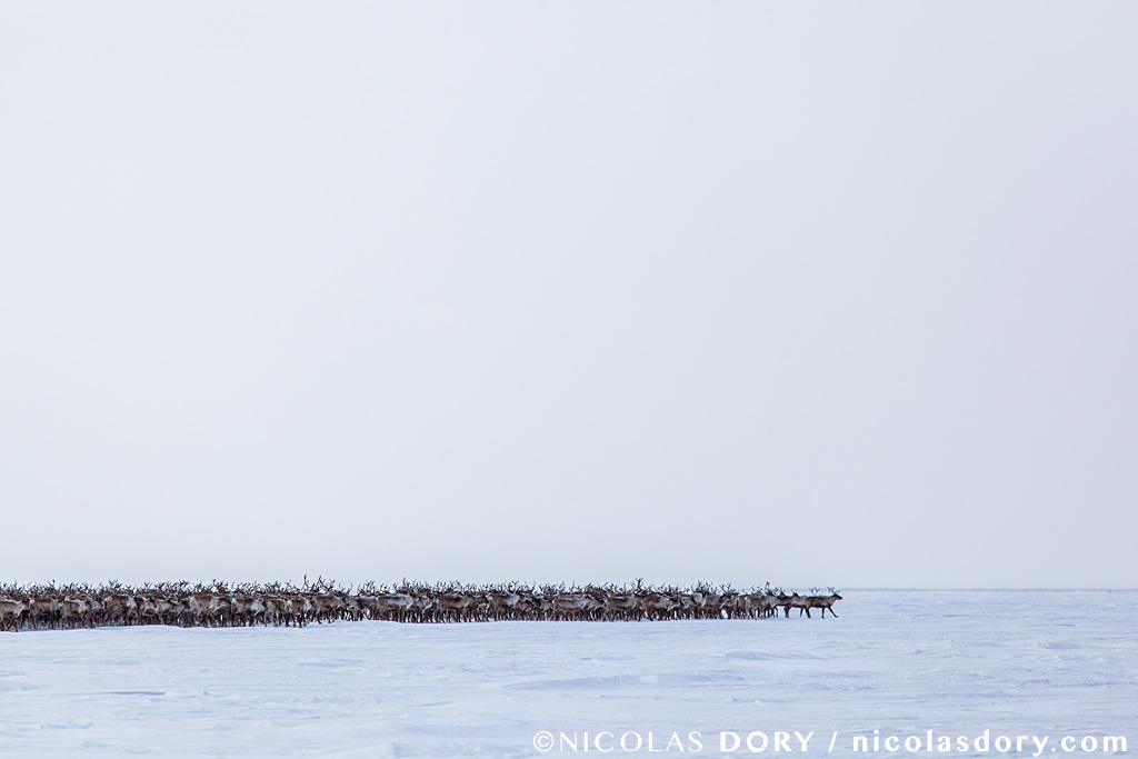 reindeermigration